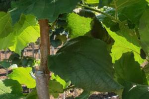 Снимка номер 4 за Разсад от лешник, присаден на дърво.