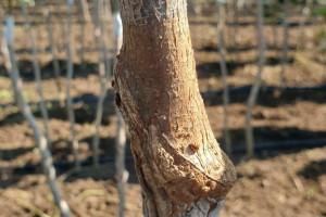 Снимка номер 3 за Разсад от лешник, присаден на дърво.