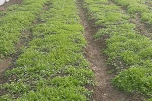 Снимка номер 2 за Произвеждаме качествен разсад бял равнец