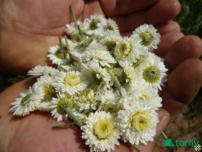 Снимка номер 1 за Предлагам разсад и семена римска лайка